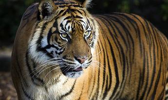 sumatran-tiger-hero_92514619.jpg