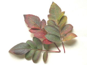 x Sorbocotoneaster pozdnjakovii.jpg