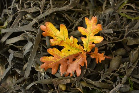 Oak on seaweed