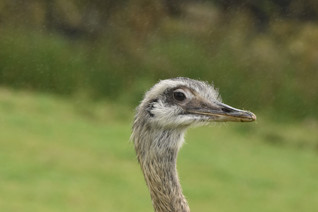Ostrich on the moors?