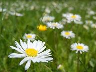 daisies-daisy-flower-macro-white-spring-