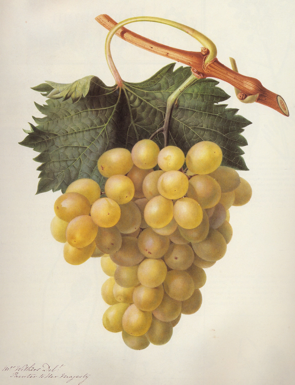 Grapes by Mrs. Augusta Withers
