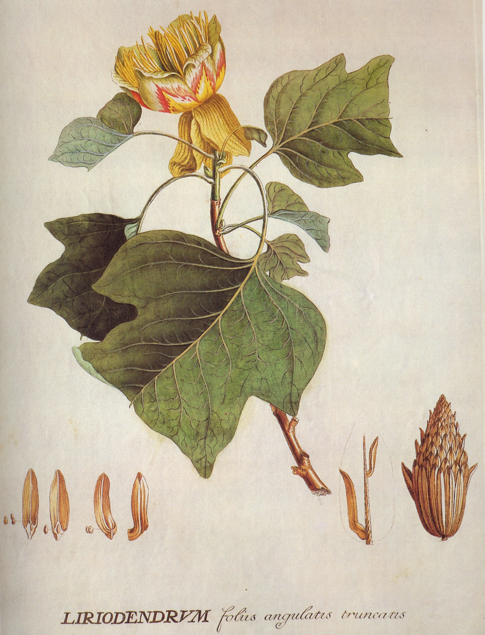 Liriodendron by Ehret