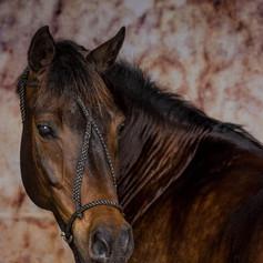 Awadi Horse Photograph