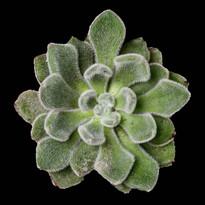 Flora Jubilee, Website Images