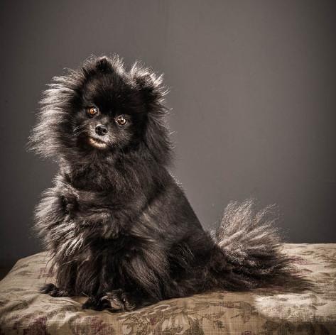 Spies Dog Portrait