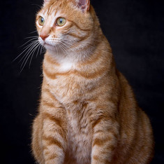 Pet Photography: Cat Portrait