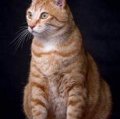 Pet Photography: Cat Portrait