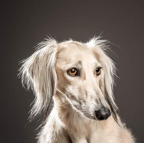 Saramien Dog Portrait