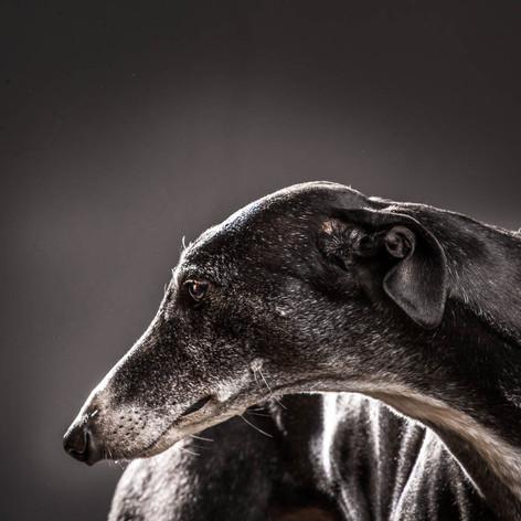 Sasha Dog Portrait