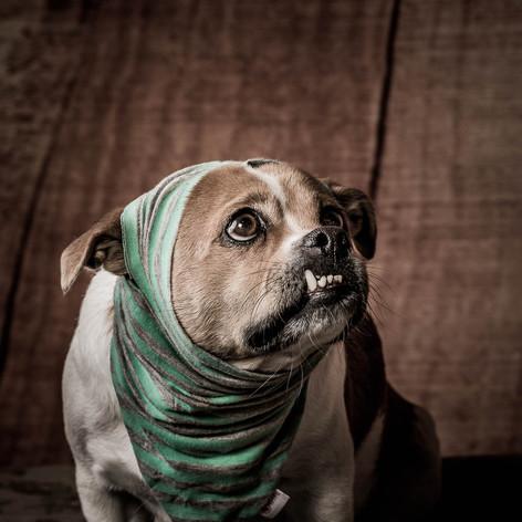 Begby Dog Portrait