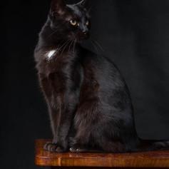 Jasmin Cat Portrait