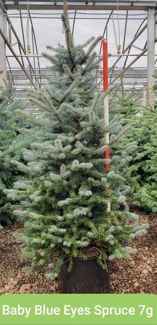 Spruce, Baby Blue Eyes 7g.jpg