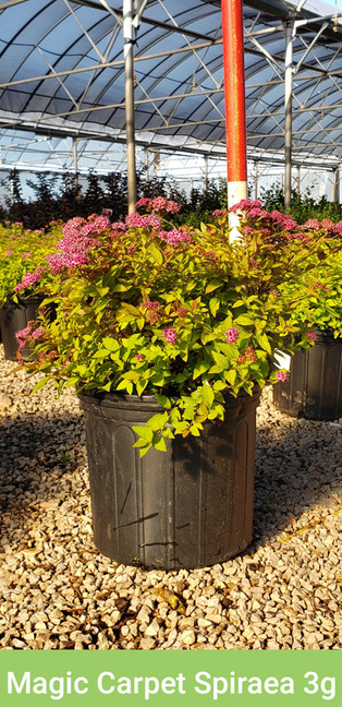 Spirea, Magic Carpet 3g.jpg