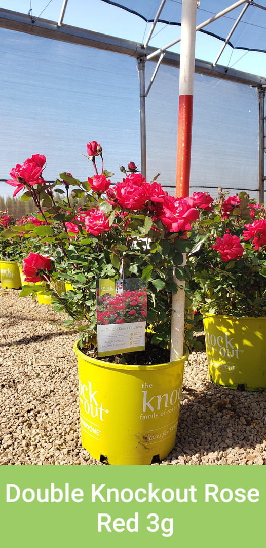 Rose, Double Knockout Red 3g.jpg