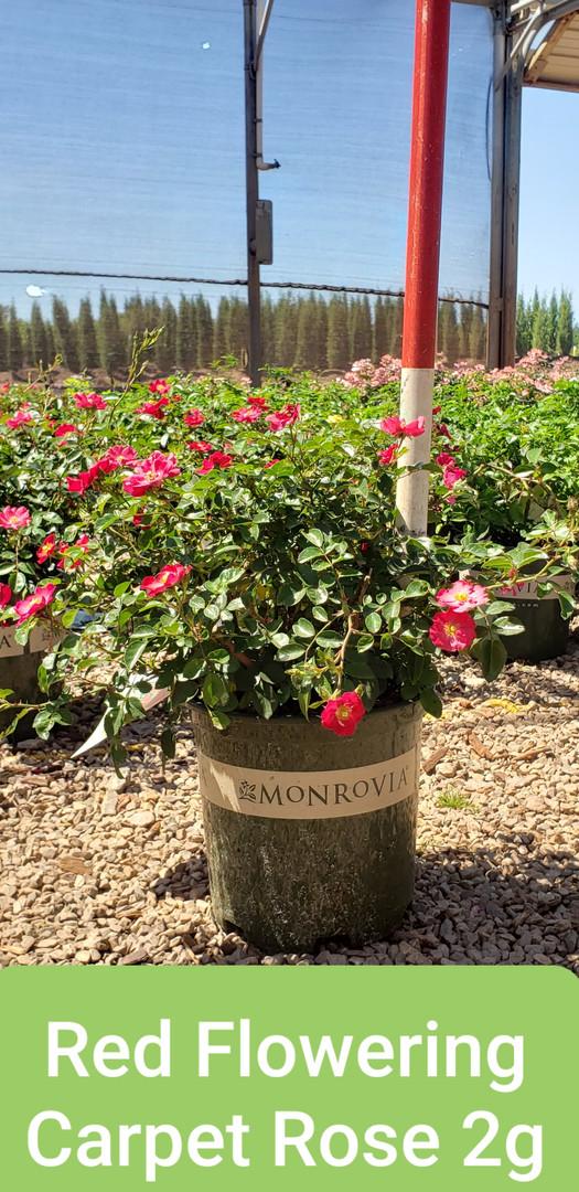 Rose, Flowering Carpet Red 2g.jpg
