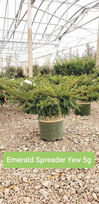 Yew, Emerald Spreader 5g.jpg