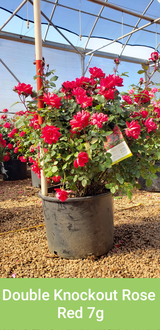 Rose, Double Knockout Red 7g.jpg