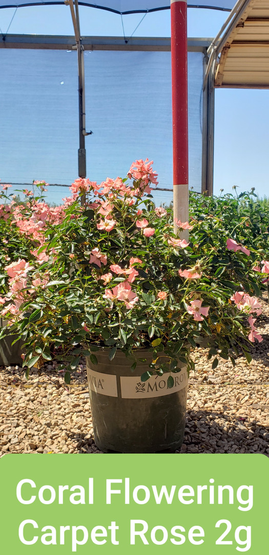 Rose, Flowering Carpet Coral 2g.jpg