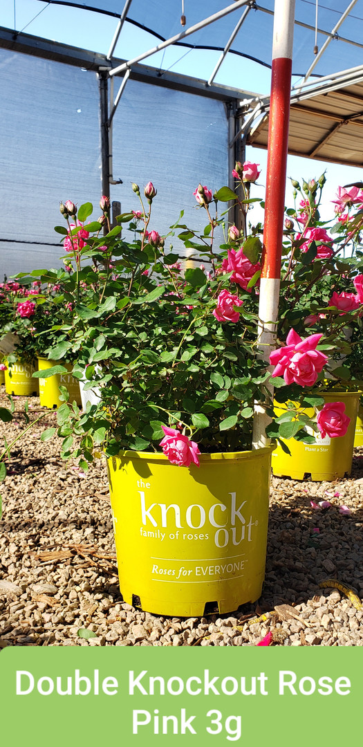 Rose, Double Knockout Pink 3g.jpg