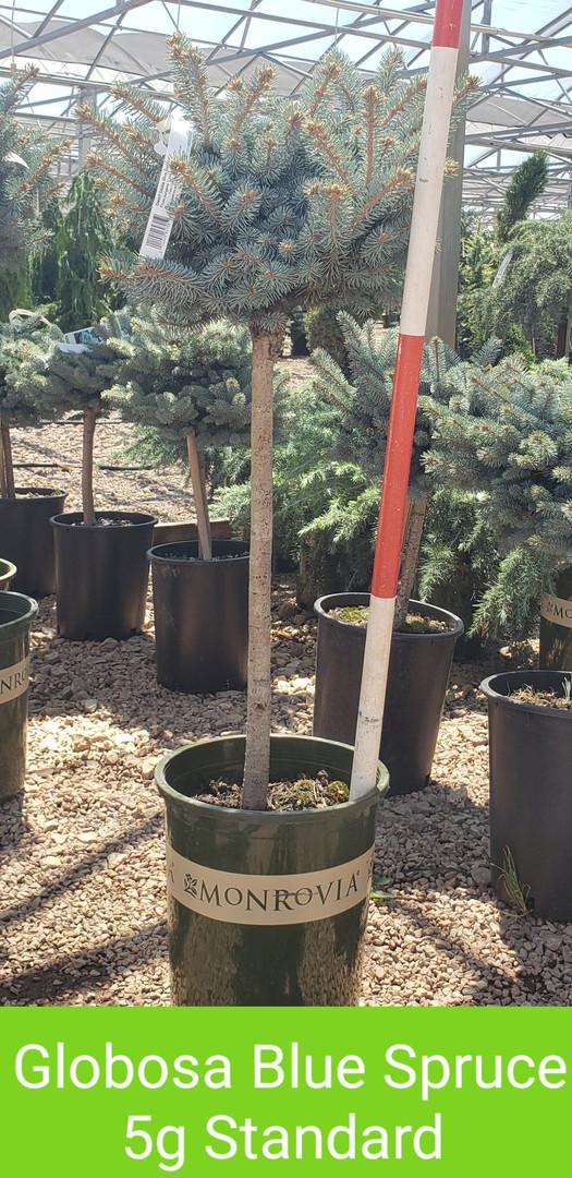Spruce, Globosa Blue 5g Standard_.jpg