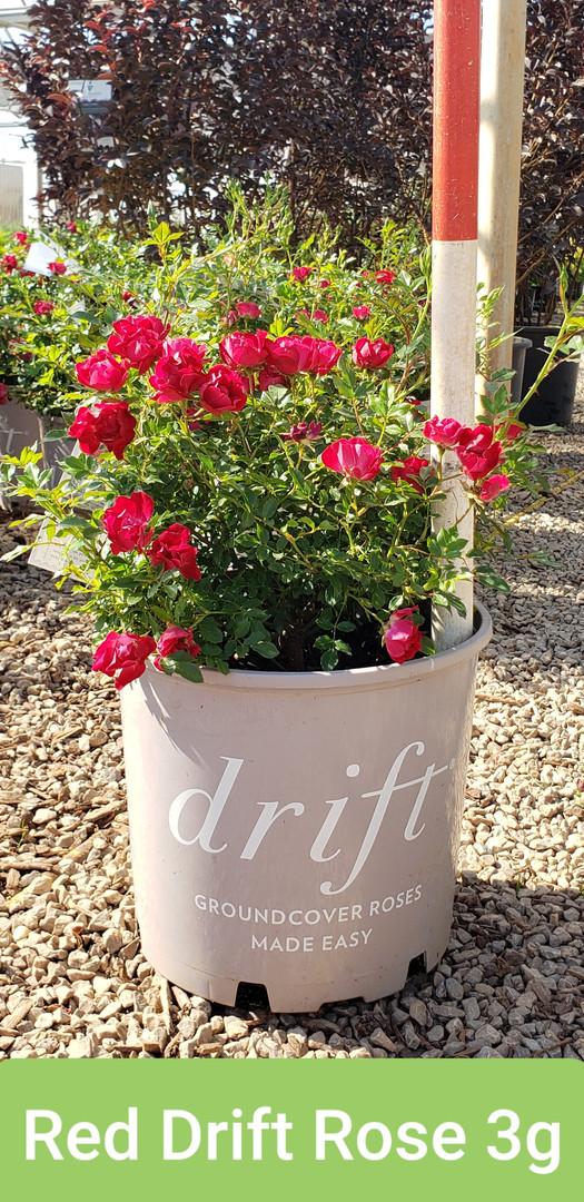 Rose, Drift Red 3g.jpg