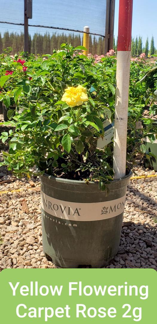 Rose, Flowering Carpet Yellow 2g.jpg