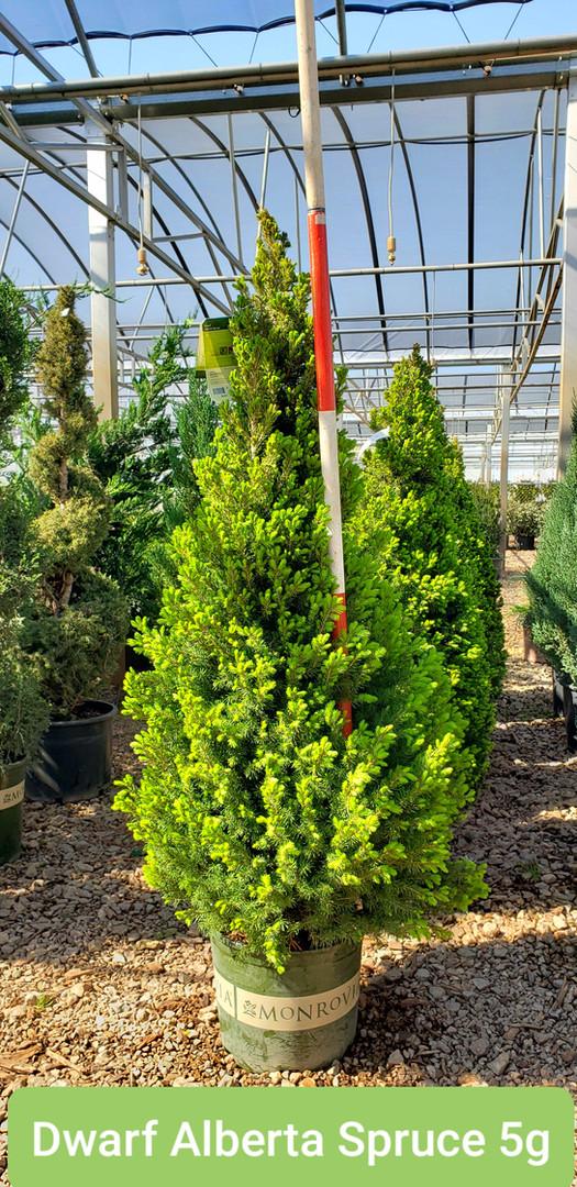 Spruce, Dwarf Alberta 5g.jpg