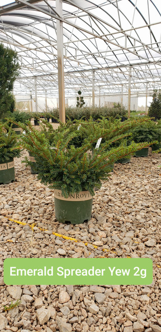 Yew, Emerald Spreader 2g.jpg