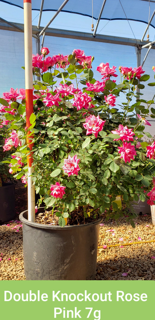 Rose, Double Knockout Pink 7g.jpg
