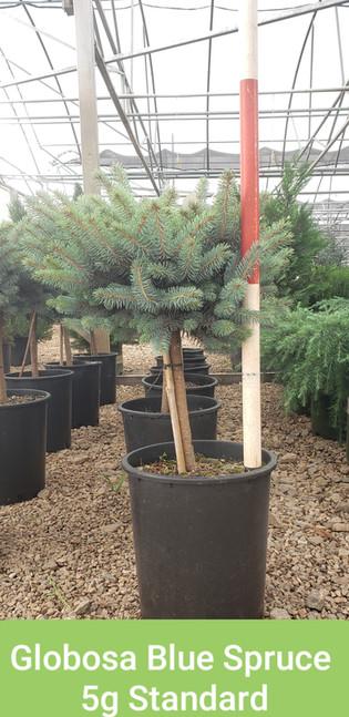 Spruce, Globosa Blue 5g Standard.jpg