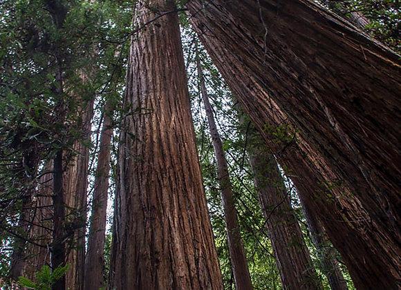 Sequoias vermelhas