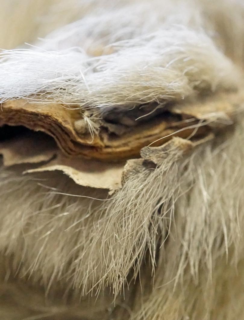 The polar bear's ear before conservation