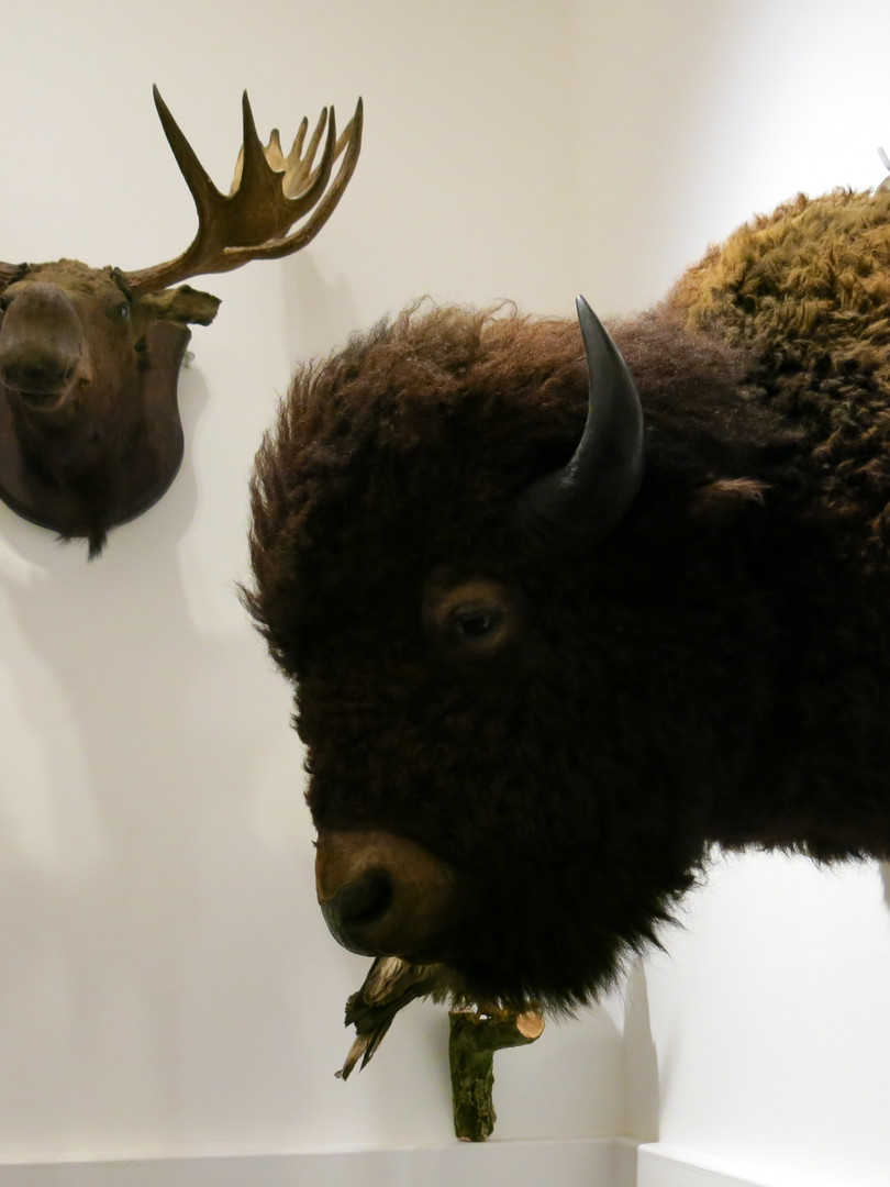 and bison head in the museum exhibition