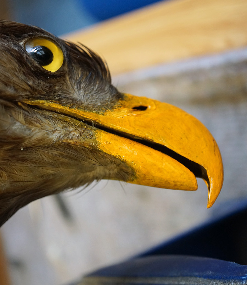 Eagle in the museum exhibition