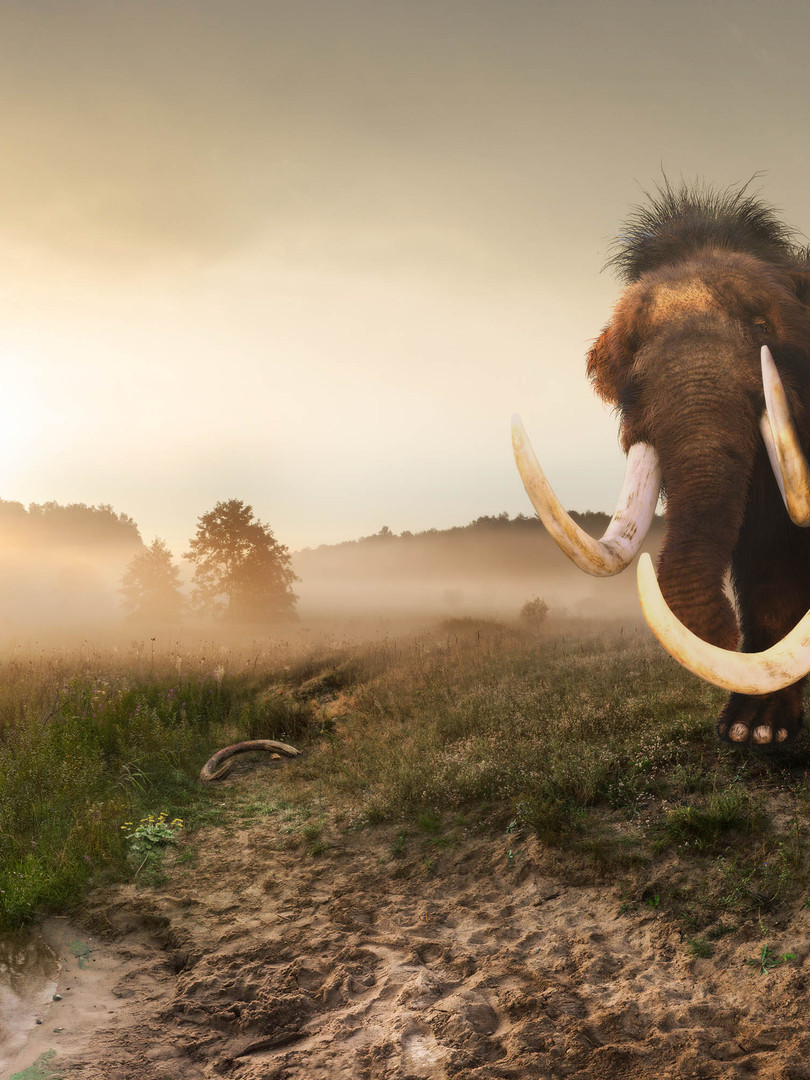 Reconstruction of the Strensham mammoth