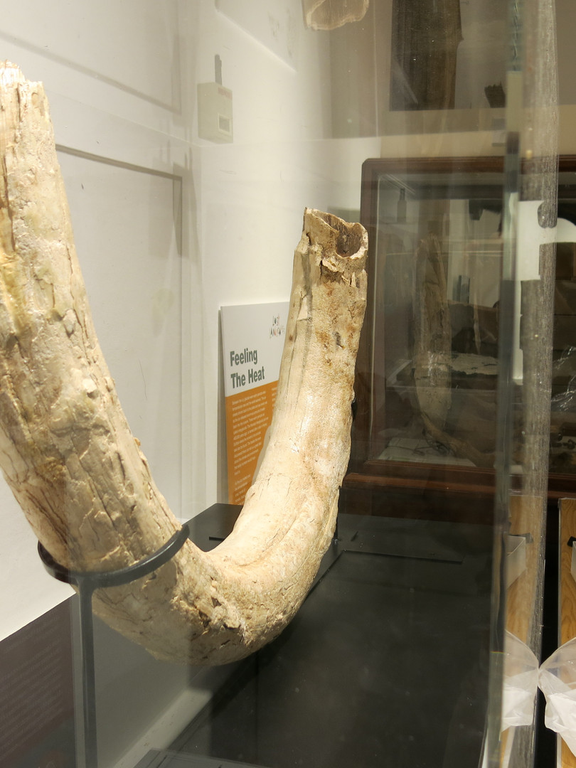 The Clifton Quarry mammoth tusk on displ