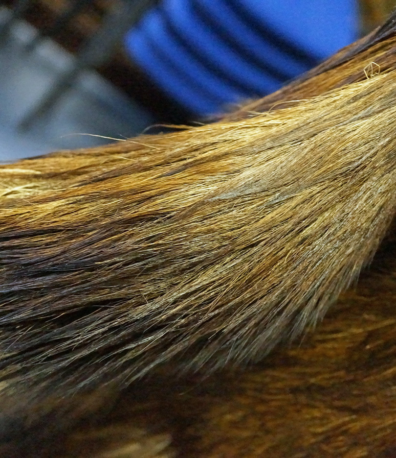 Cleaning moose beard