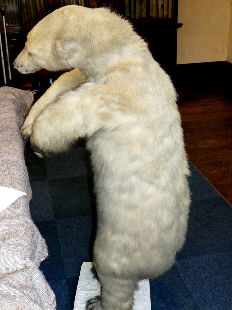 Polar bear after conservation