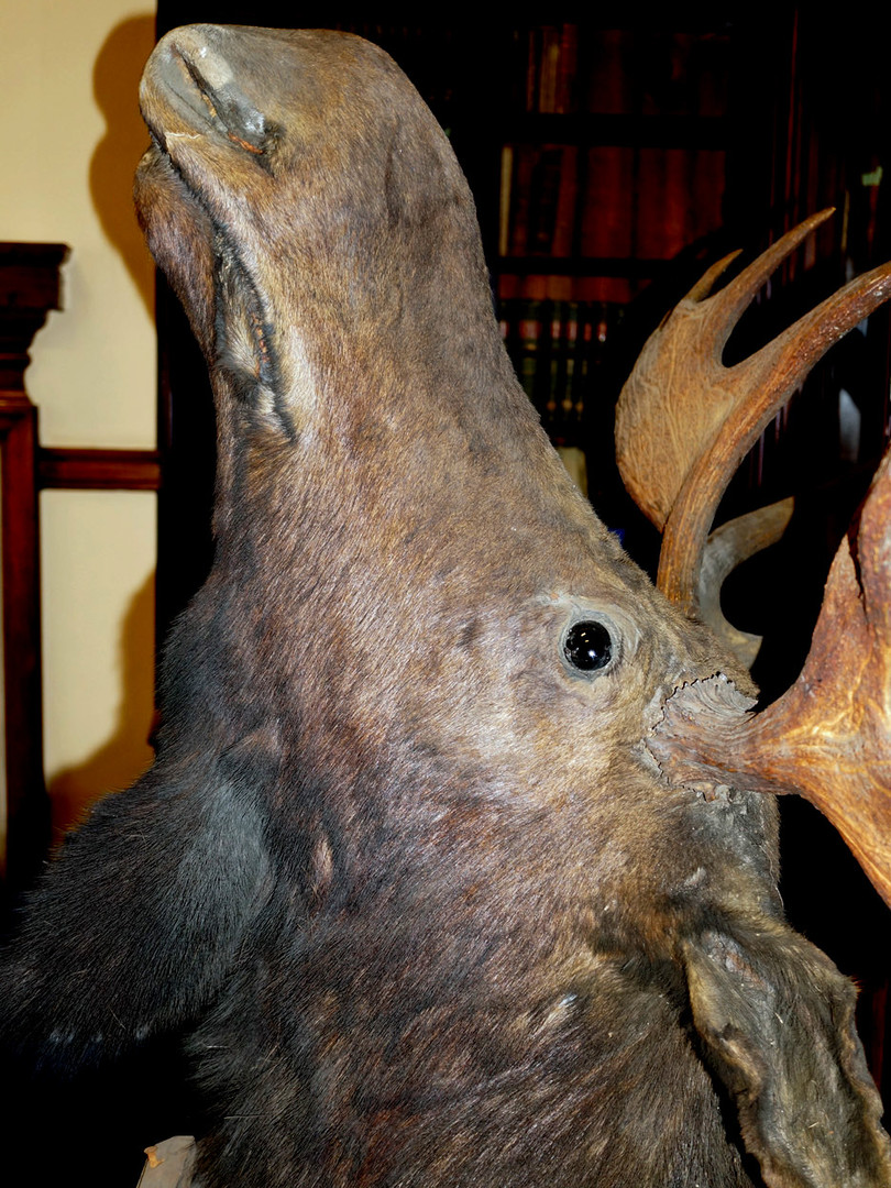Moose head after conservation