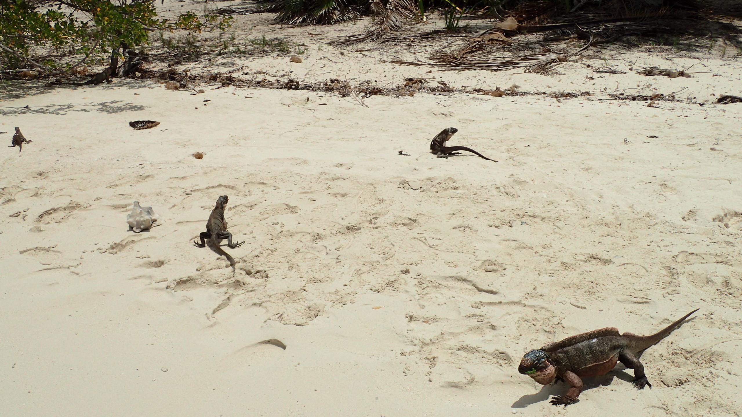 Iguanas on Allan's Cay
