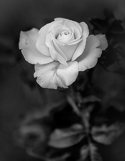 black-and-white-rose.jpg