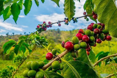 Raw Green Dominican Republic Barahona AA