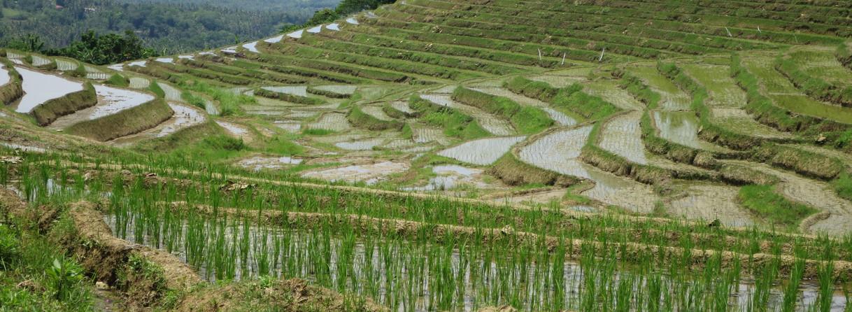 Les riziéres en terrasse