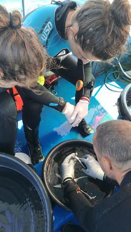 Découpe du fragment de corail