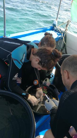 Propagation de la bouture de corail