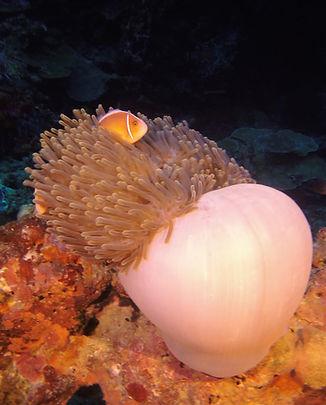 Anemone fish (1).JPG