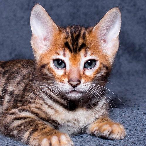 Rubik purebred Bengal male kitten