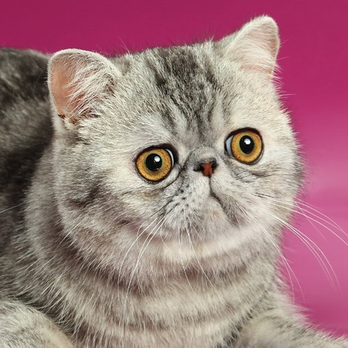 Happy Ho silver tabby color Exotic shorthair male cat