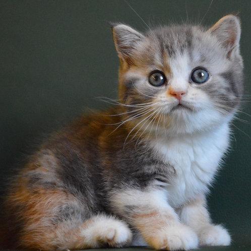 Iriska Scottish straight female kitten